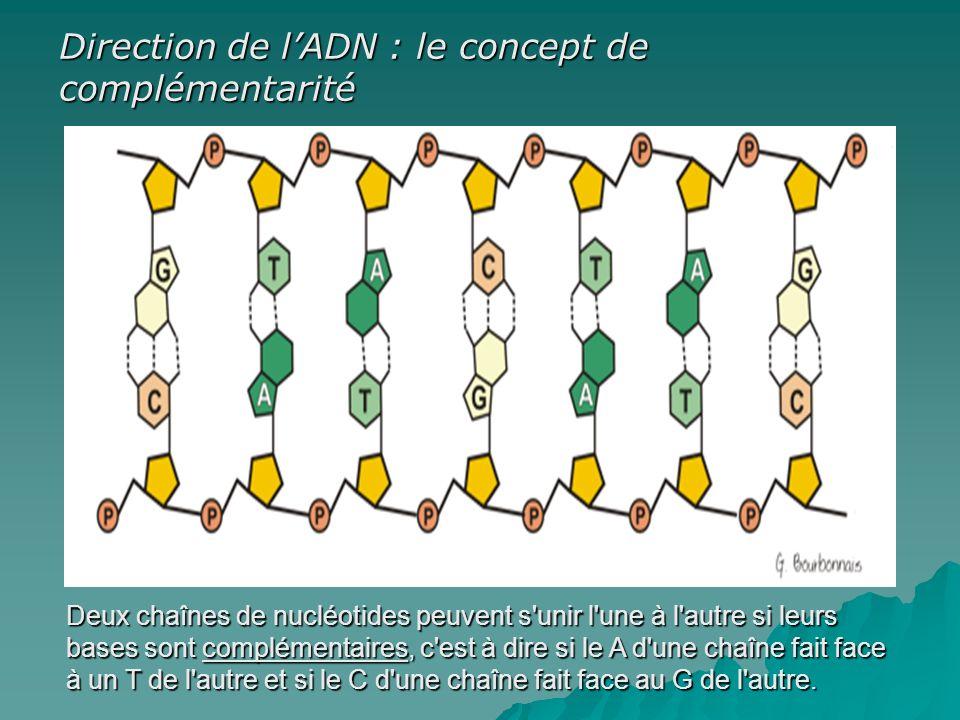 Deux chaînes de nucléotides peuvent s unir l une à l autre si leurs bases sont complémentaires, c est à dire si le A d une chaîne fait face à un T de l autre et si le C d une chaîne fait face au G de l autre.