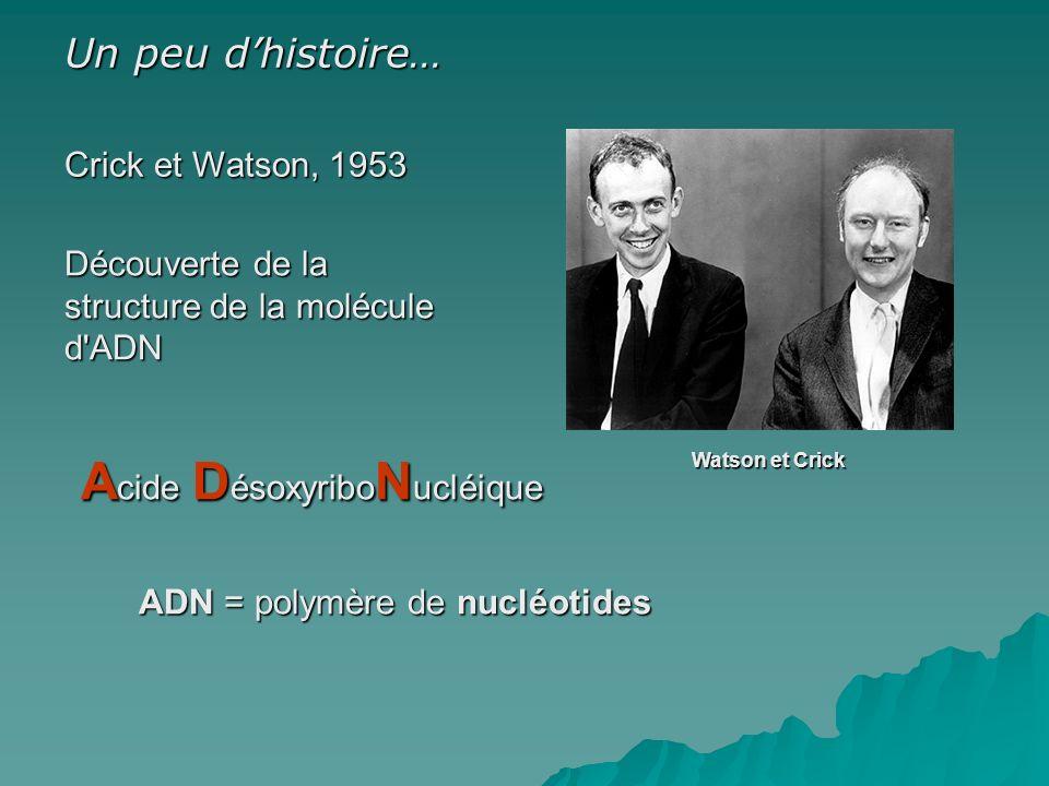 Crick et Watson, 1953 Découverte de la structure de la molécule d ADN ADN = polymère de nucléotides A cide D ésoxyribo N ucléique Watson et Crick Un peu dhistoire…