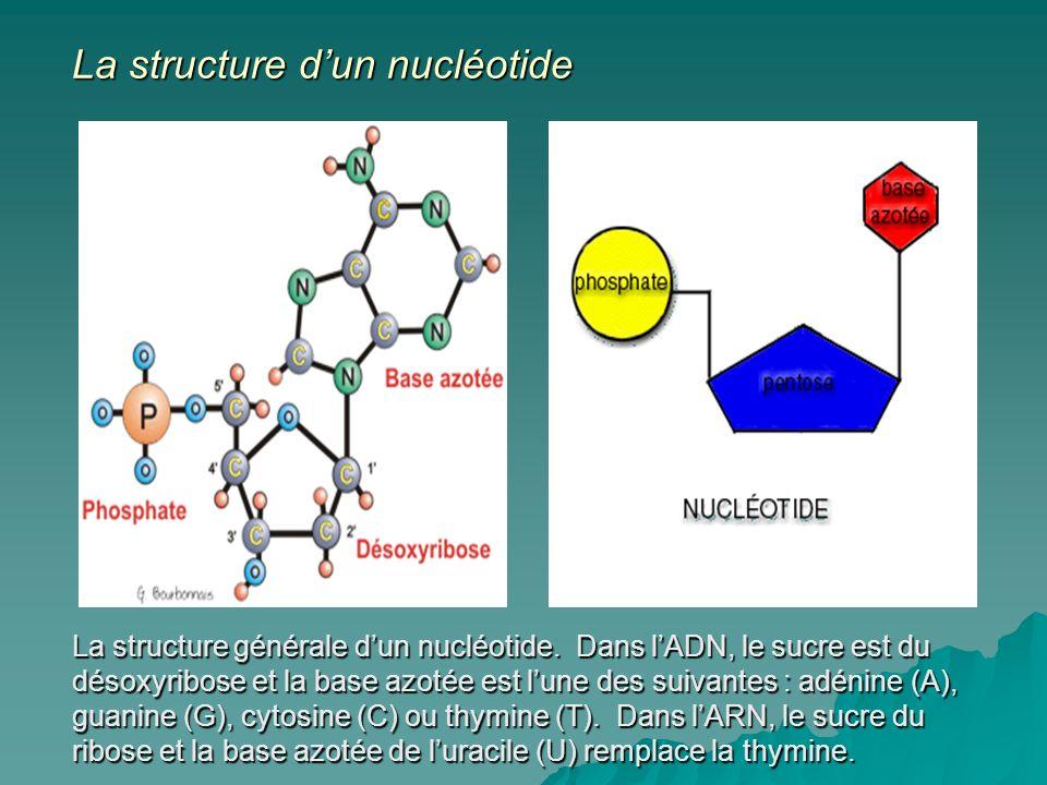 La structure générale dun nucléotide.