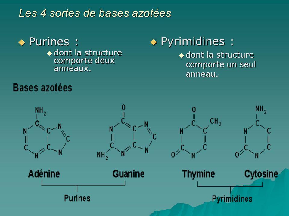 Les 4 sortes de bases azotées Purines : Purines : dont la structure comporte deux anneaux.