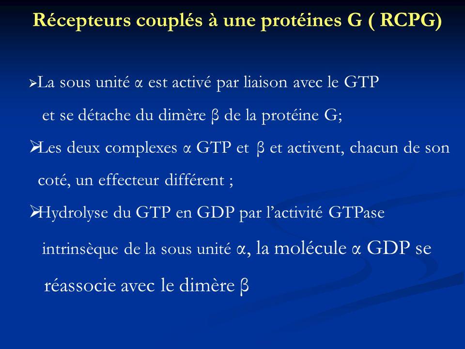 La sous unité α est activé par liaison avec le GTP et se détache du dimère β de la protéine G; Les deux complexes α GTP et β et activent, chacun de so
