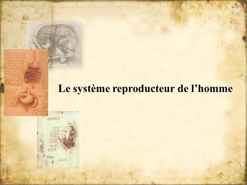 Le système reproducteur de lhomme