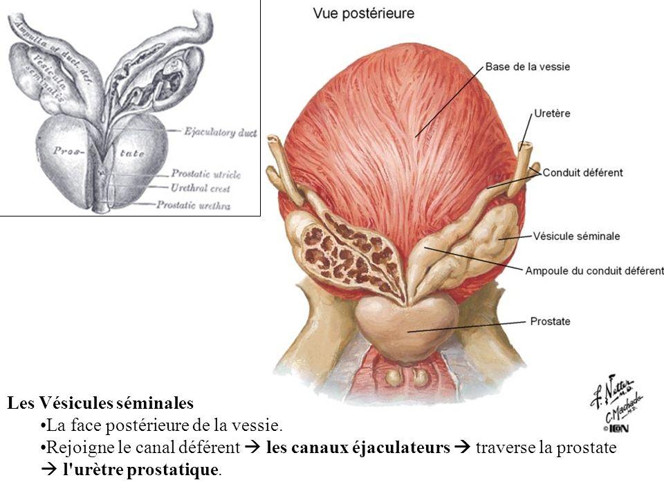 Les Vésicules séminales La face postérieure de la vessie.