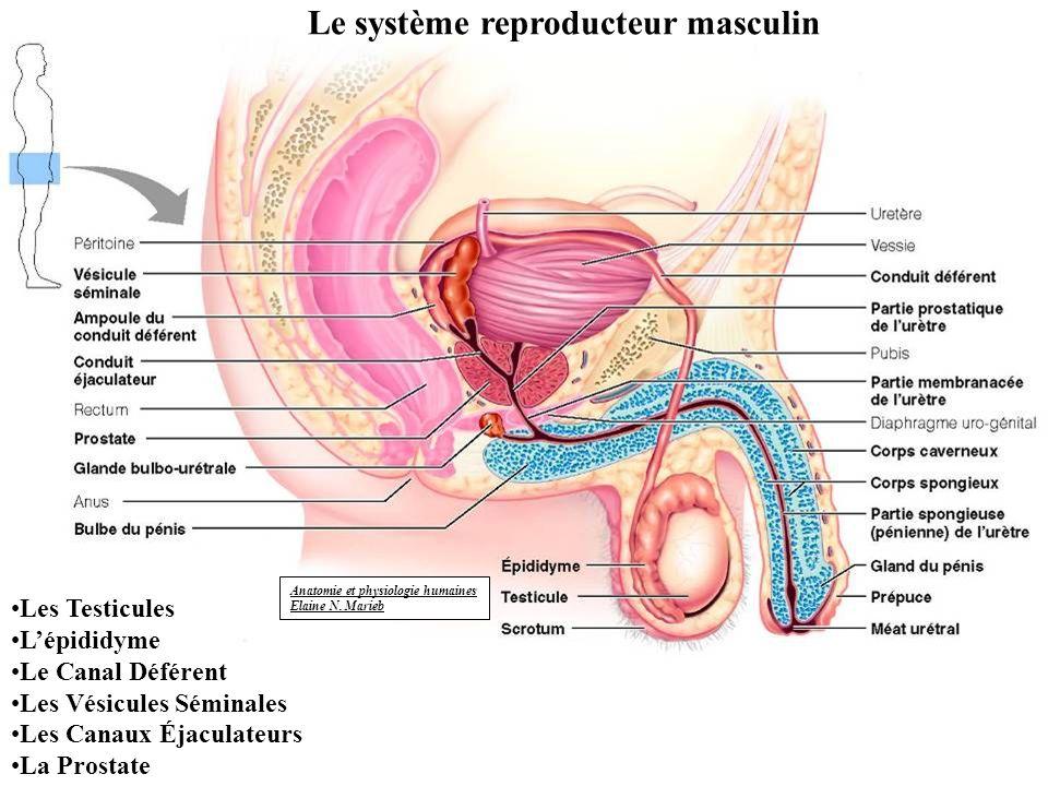 Anatomie et physiologie humaines Elaine N. Marieb Le système reproducteur masculin Les Testicules Lépididyme Le Canal Déférent Les Vésicules Séminales