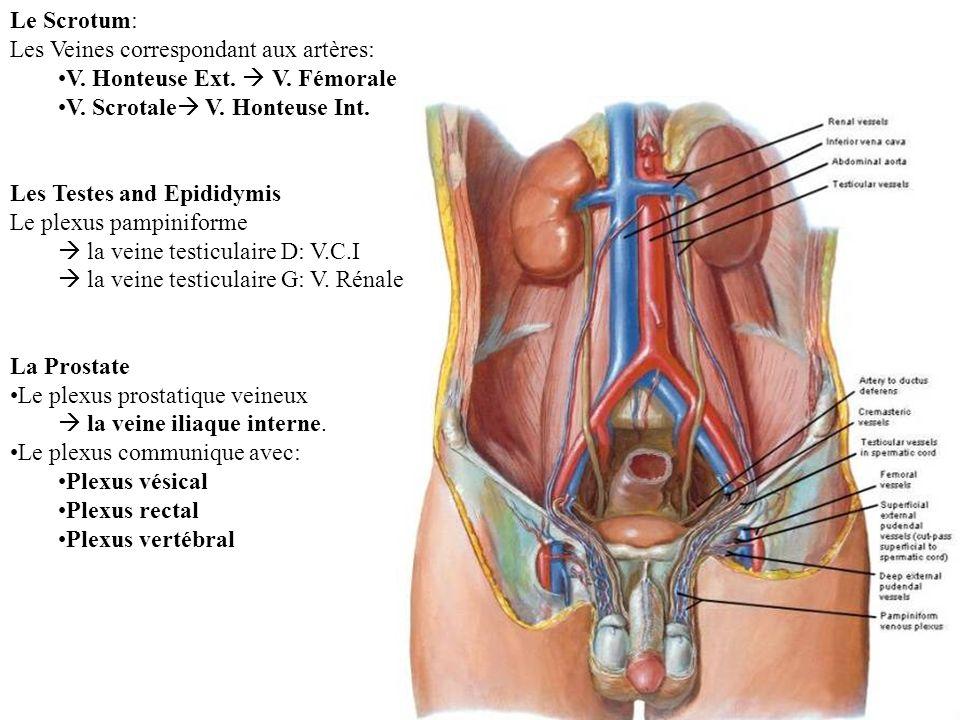 Le Scrotum: Les Veines correspondant aux artères: V.