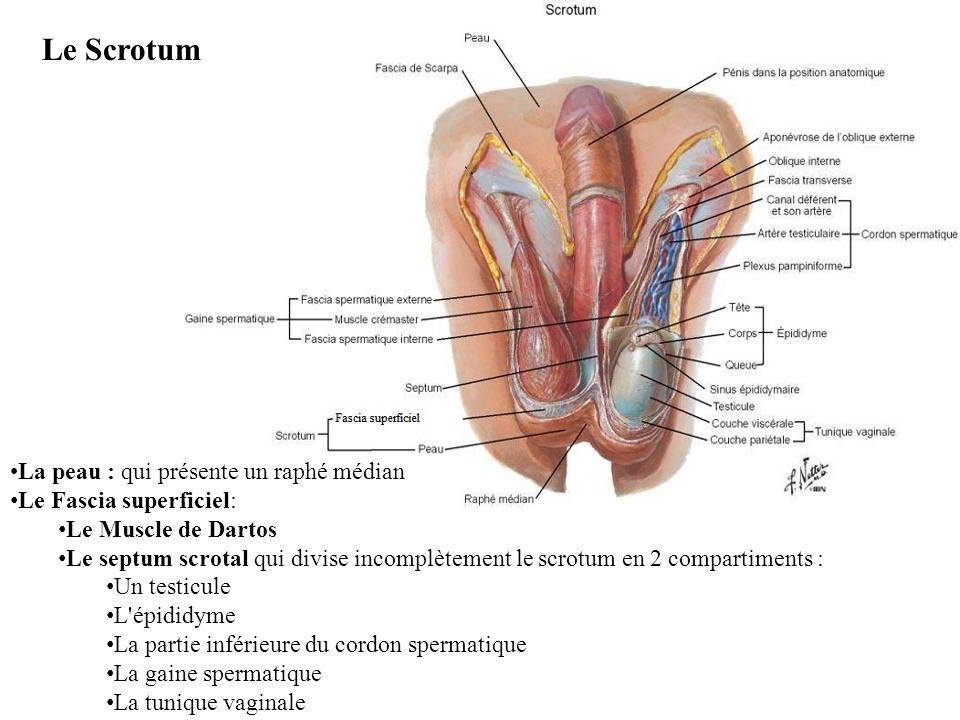 La peau : qui présente un raphé médian Le Fascia superficiel: Le Muscle de Dartos Le septum scrotal qui divise incomplètement le scrotum en 2 compartiments : Un testicule L épididyme La partie inférieure du cordon spermatique La gaine spermatique La tunique vaginale Le Scrotum