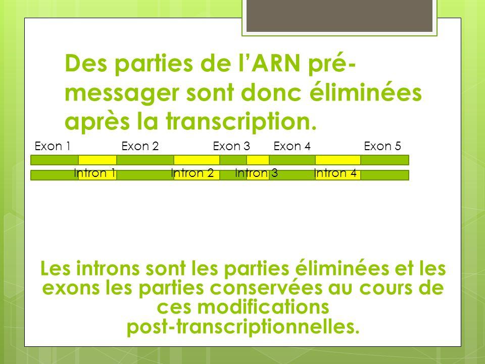 Des parties de lARN pré- messager sont donc éliminées après la transcription. Les introns sont les parties éliminées et les exons les parties conservé