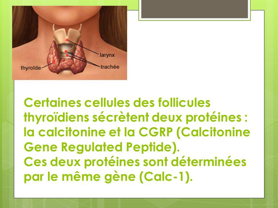Certaines cellules des follicules thyroïdiens sécrètent deux protéines : la calcitonine et la CGRP (Calcitonine Gene Regulated Peptide). Ces deux prot