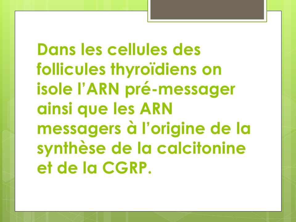 Dans les cellules des follicules thyroïdiens on isole lARN pré-messager ainsi que les ARN messagers à lorigine de la synthèse de la calcitonine et de