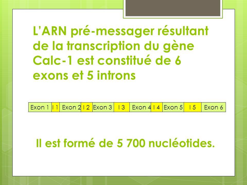 LARN pré-messager résultant de la transcription du gène Calc-1 est constitué de 6 exons et 5 introns Exon 1Exon 2Exon 3Exon 4Exon 5Exon 6I 1I 5I 4I 3I