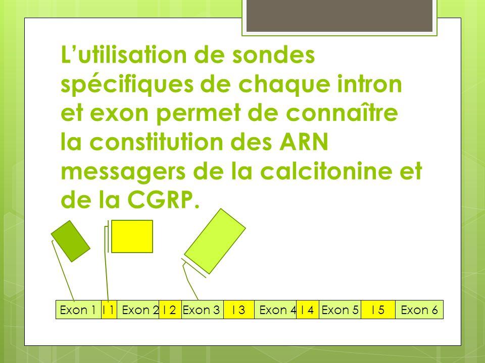 Lutilisation de sondes spécifiques de chaque intron et exon permet de connaître la constitution des ARN messagers de la calcitonine et de la CGRP. Exo