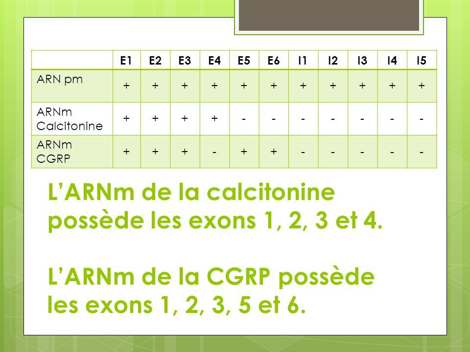 LARNm de la calcitonine possède les exons 1, 2, 3 et 4. LARNm de la CGRP possède les exons 1, 2, 3, 5 et 6. E1E2E3E4E5E6I1I2I3I4I5 ARN pm +++++++++++