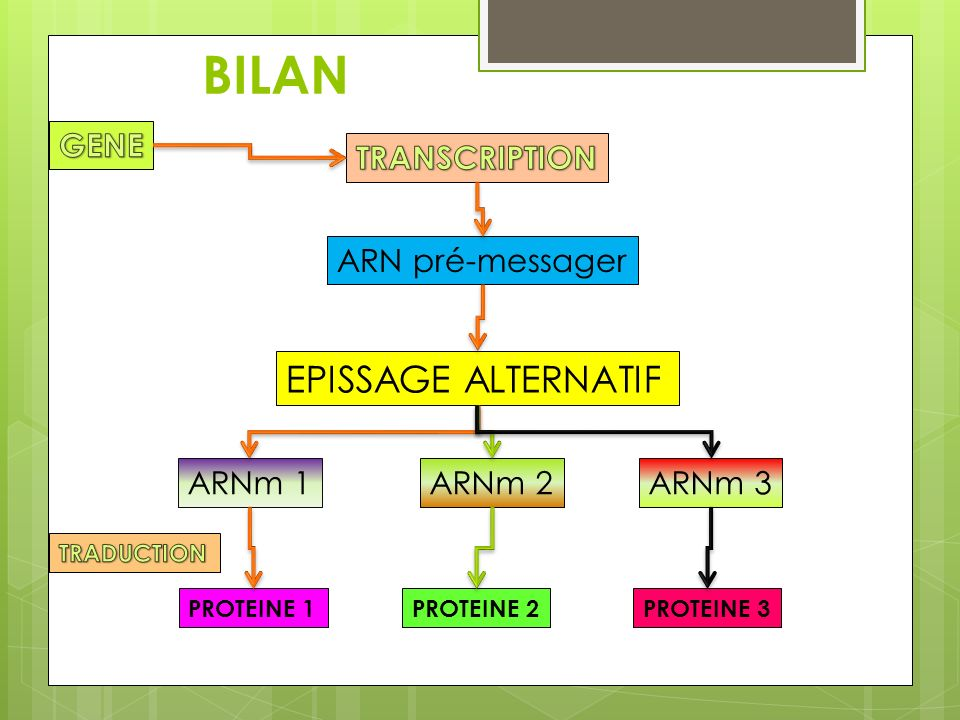 BILAN ARN pré-messager EPISSAGE ALTERNATIF ARNm 1ARNm 3ARNm 2 PROTEINE 1PROTEINE 2PROTEINE 3