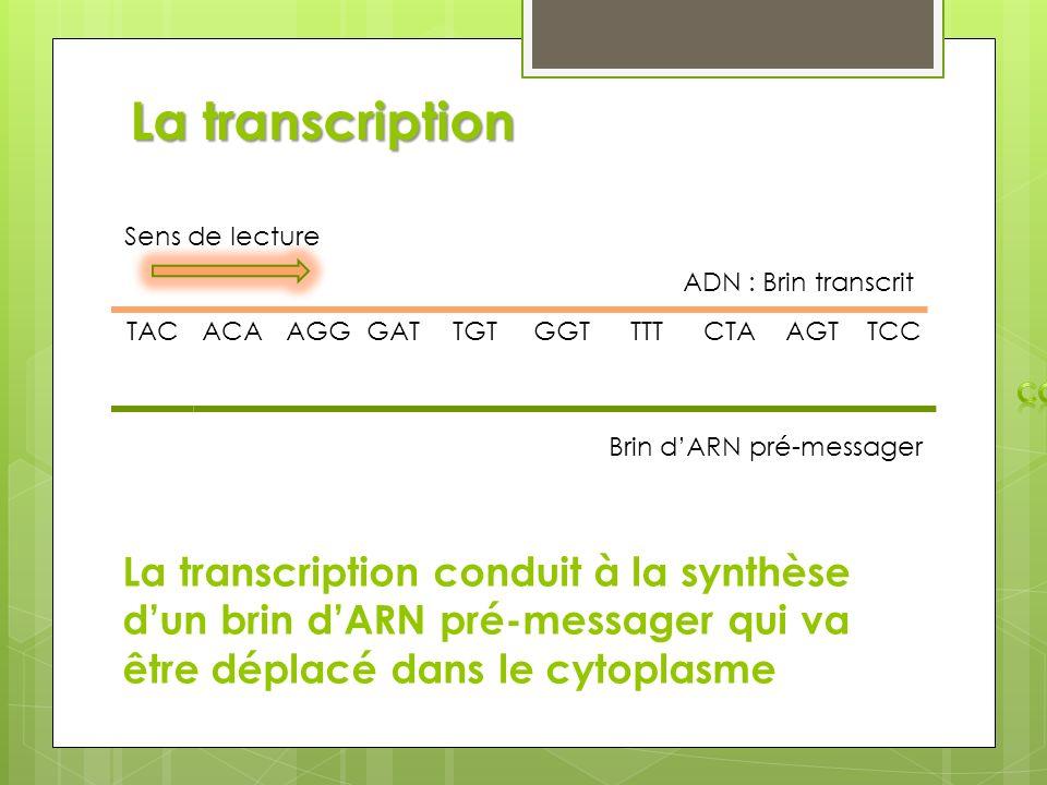 La transcription TAC ADN : Brin transcrit Sens de lecture ACAAGGGATTGTGGTTTTCTAAGTTCC La transcription conduit à la synthèse dun brin dARN pré-message