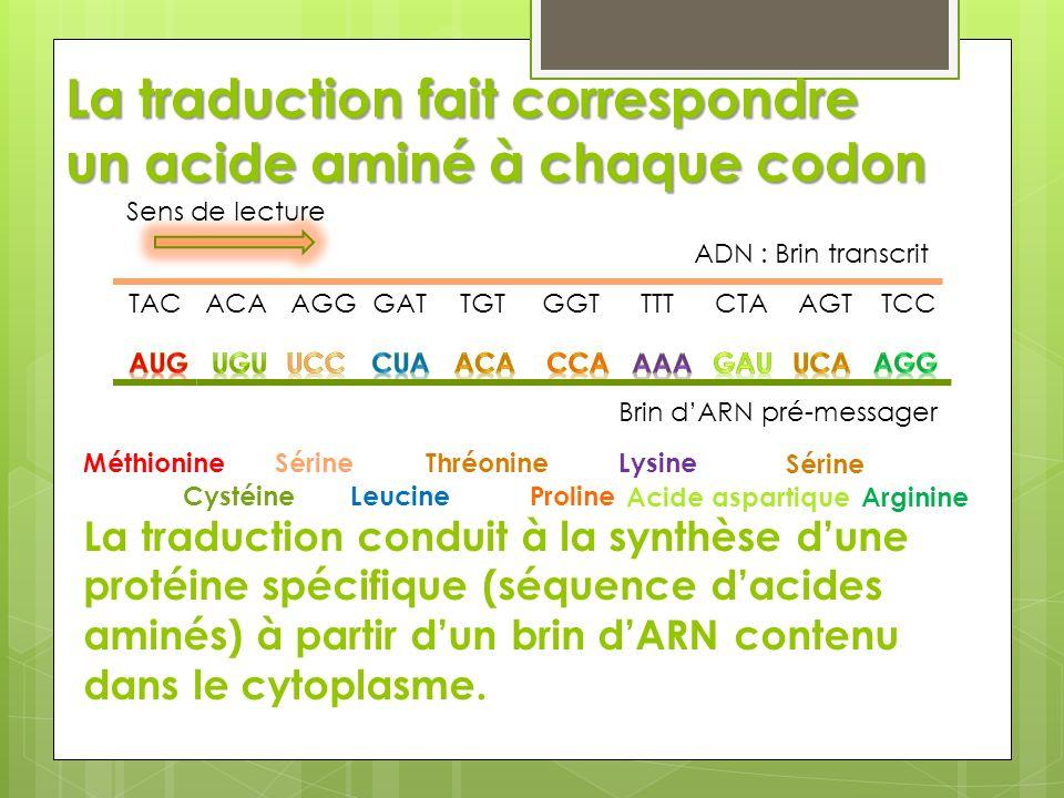 La traduction fait correspondre un acide aminé à chaque codon TAC ADN : Brin transcrit Sens de lecture ACAAGGGATTGTGGTTTTCTAAGTTCC La traduction condu