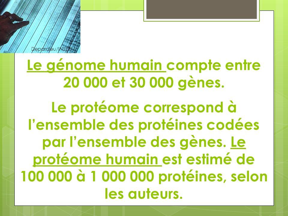 Le génome humain compte entre 20 000 et 30 000 gènes. Le protéome correspond à lensemble des protéines codées par lensemble des gènes. Le protéome hum