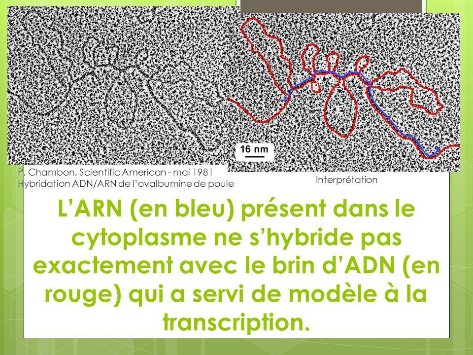LARN (en bleu) présent dans le cytoplasme ne shybride pas exactement avec le brin dADN (en rouge) qui a servi de modèle à la transcription. P. Chambon