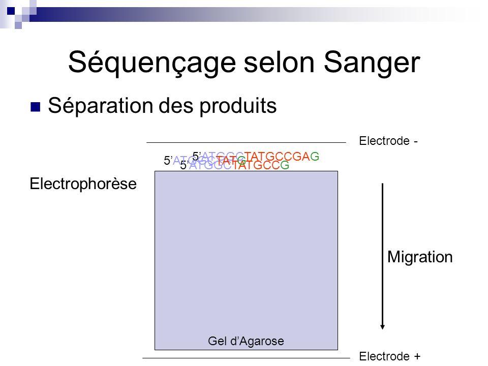 Gel dAgarose Séquençage selon Sanger Séparation des produits 5ATGGCTATGCCGAG 5ATGGCTATGCCG 5ATGGCTATG Electrode - Electrode + Migration Electrophorèse