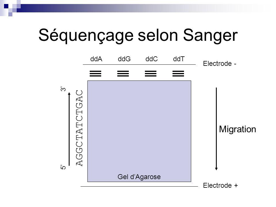 Séquençage selon Sanger Gel dAgarose Migration Electrode - Electrode + ddAddGddCddT AGGCTATCTGAC 5 3