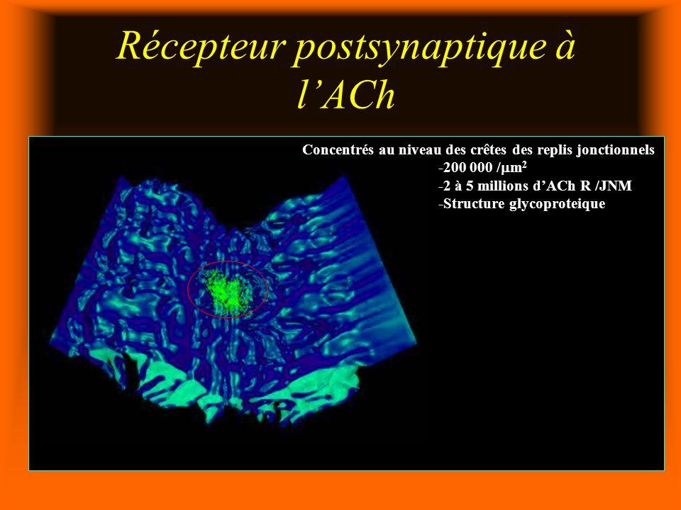 Récepteur postsynaptique à lACh Concentrés au niveau des crêtes des replis jonctionnels -200 000 / m 2 -2 à 5 millions dACh R /JNM -Structure glycoproteique