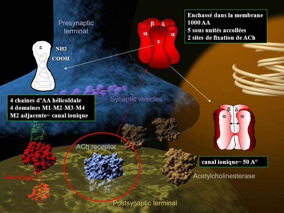 Enchassé dans la membrane 1000 AA 5 sous unités accollées 2 sites de fixation de ACh NH2 COOH 4 chaines dAA hélicoïdale 4 domaines M1-M2-M3-M4 M2 adjacente= canal ionique canal ionique= 50 A°