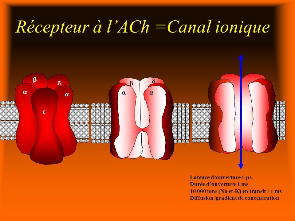 Récepteur à lACh =Canal ionique Latence douverture 1 s Durée douverture 1 ms 10 000 ions (Na et K) en transit / 1 ms Diffusion /gradient de concentration