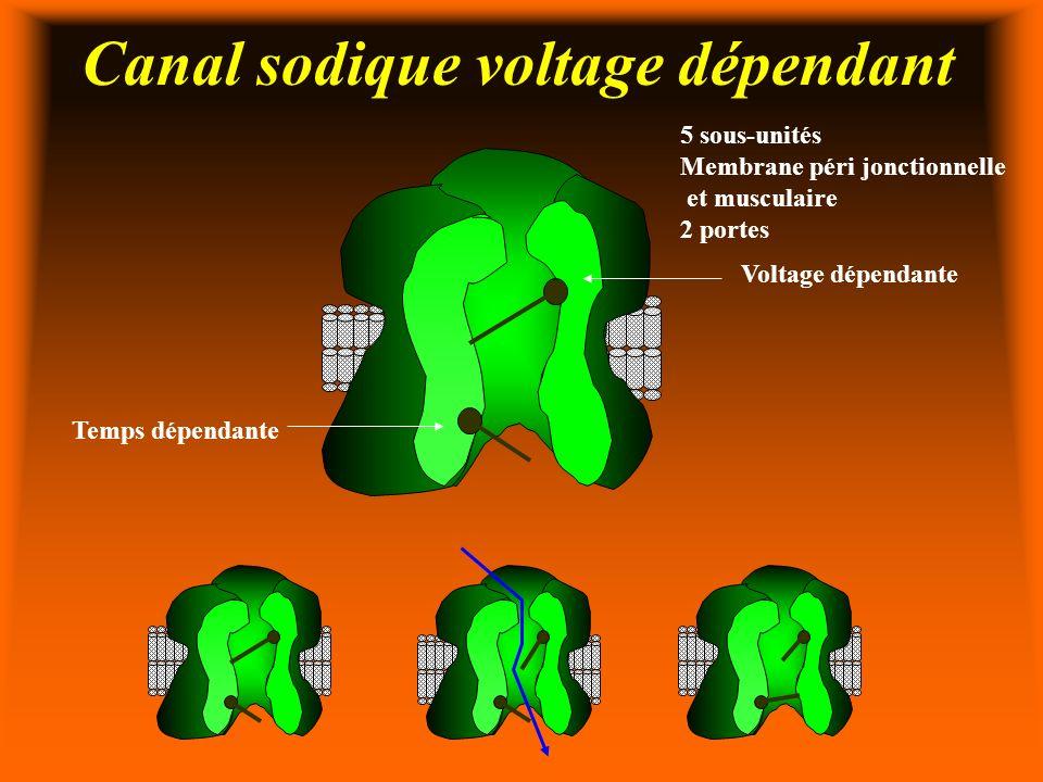 Canal sodique voltage dépendant 5 sous-unités Membrane péri jonctionnelle et musculaire 2 portes Voltage dépendante Temps dépendante