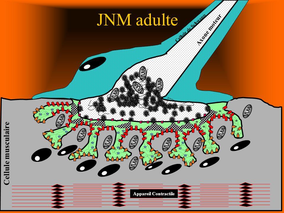Appareil Contractile * * * * * * * * * * * * * * * * * * * * * * * * Axone moteur Cellule musculaire Cellule de Schwann * JNM adulte