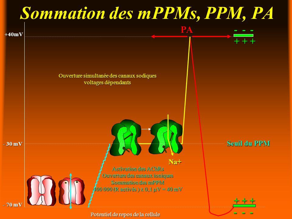 Sommation des mPPMs, PPM, PA - 70 mV - 30 mV +40mV +40mV Potentiel de repos de la cellule PA + + + - - - + + + Na+ Ouverture simultanée des canaux sodiques voltages dépendants Seuil du PPM Activation des AChRs Ouverture des canaux ioniques Sommation des mPPM 400 000 (R activés ) x 0,1 V = 40 mV