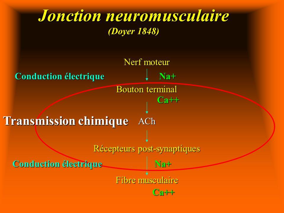 Jonction neuromusculaire (Doyer 1848) Nerf moteur Bouton terminal ACh Récepteurs post-synaptiques Fibre musculaire Conduction électrique Transmission chimique Na+Ca++ Na+ Ca++