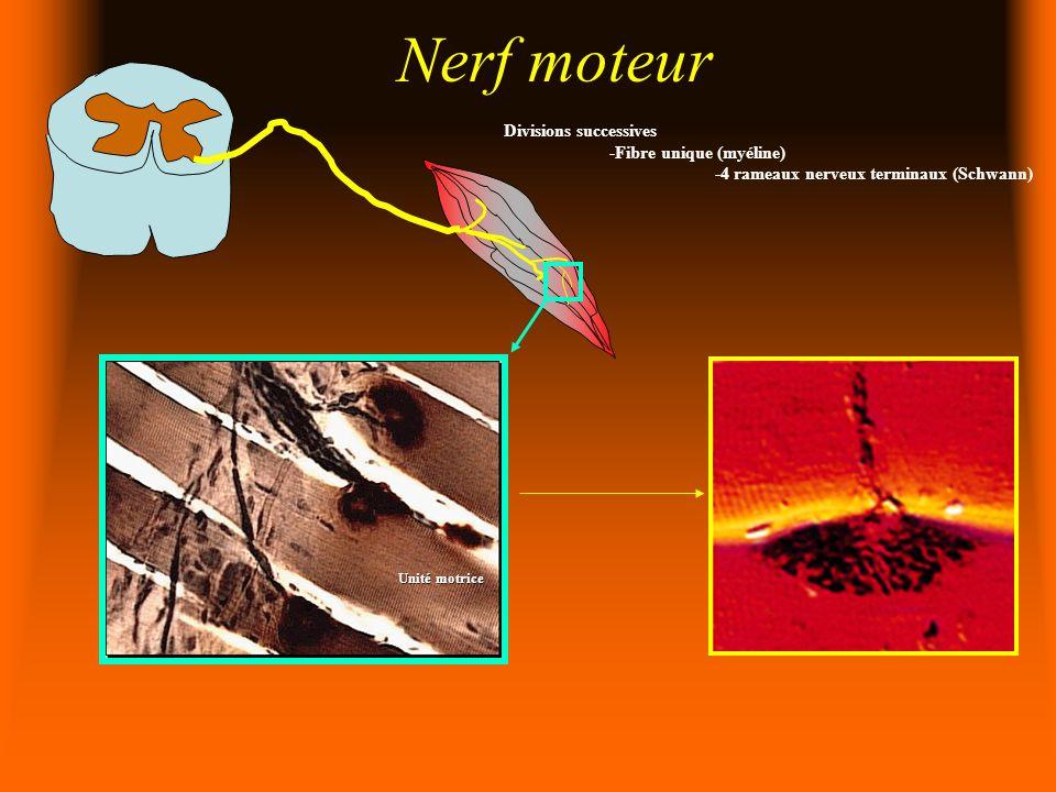 Nerf moteur Divisions successives -Fibre unique (myéline) -4 rameaux nerveux terminaux (Schwann) Unité motrice