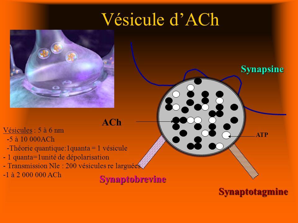 Vésicule dACh ACh Synaptobrevine Synapsine ATP Synaptotagmine Vésicules : 5 à 6 nm -5 à 10 000ACh -Théorie quantique:1quanta = 1 vésicule - 1 quanta=1unité de dépolarisation - Transmission Nle : 200 vésicules re larguées -1 à 2 000 000 ACh
