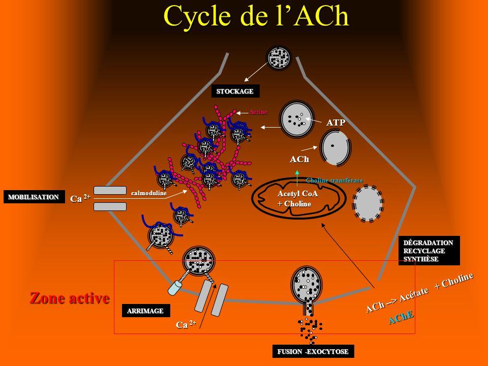 Ca 2+ ARRIMAGE Acetyl CoA + Choline Ca 2+ calmoduline MOBILISATION FUSION -EXOCYTOSE ACh --> Acétate + Choline AChE DÉGRADATIONRECYCLAGESYNTHÈSE STOCKAGE Actine Cycle de lACh Zone active ACh ATP Choline transférase