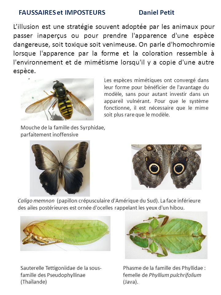 Caligo memnon (papillon crépusculaire d'Amérique du Sud). La face inférieure des ailes postérieures est ornée d'ocelles rappelant les yeux d'un hibou.