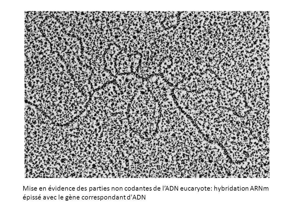 Mise en évidence des parties non codantes de lADN eucaryote: hybridation ARNm épissé avec le gène correspondant d'ADN
