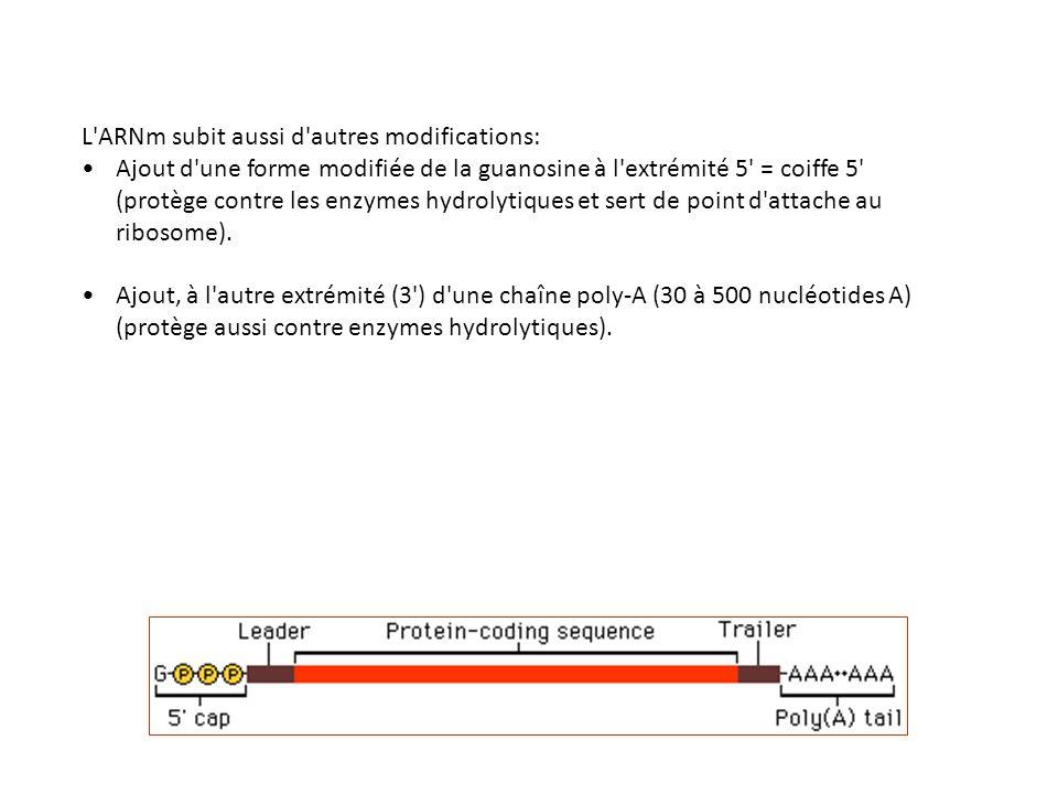 L'ARNm subit aussi d'autres modifications: Ajout d'une forme modifiée de la guanosine à l'extrémité 5' = coiffe 5' (protège contre les enzymes hydroly