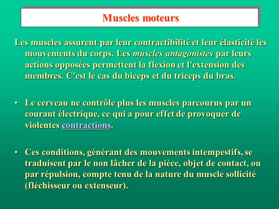 Muscles moteurs Muscles moteurs Les muscles assurent par leur contractibilité et leur élasticité les mouvements du corps. Les muscles antagonistes par
