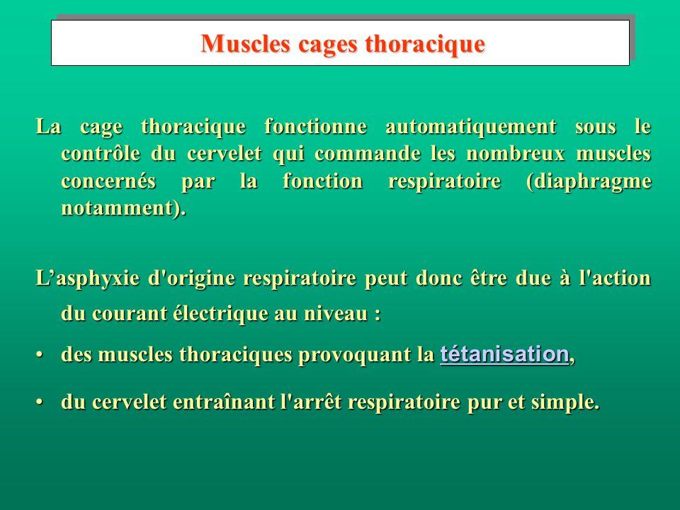 Muscles cages thoracique Muscles cages thoracique La cage thoracique fonctionne automatiquement sous le contrôle du cervelet qui commande les nombreux