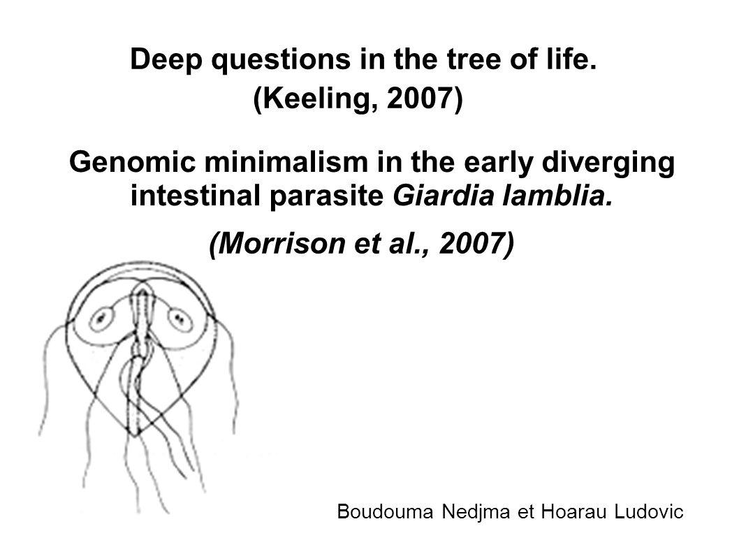 Giardia lamblia Le protiste parasite le plus répandu aux Etats-Unis Les trophozoïtes flagellés infestent l intestin grêle.