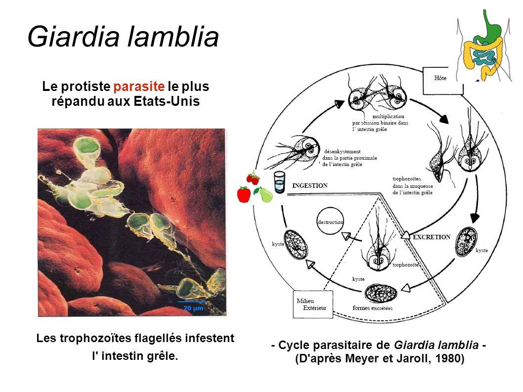 Giardia lamblia Le protiste parasite le plus répandu aux Etats-Unis Les trophozoïtes flagellés infestent l' intestin grêle. - Cycle parasitaire de Gia