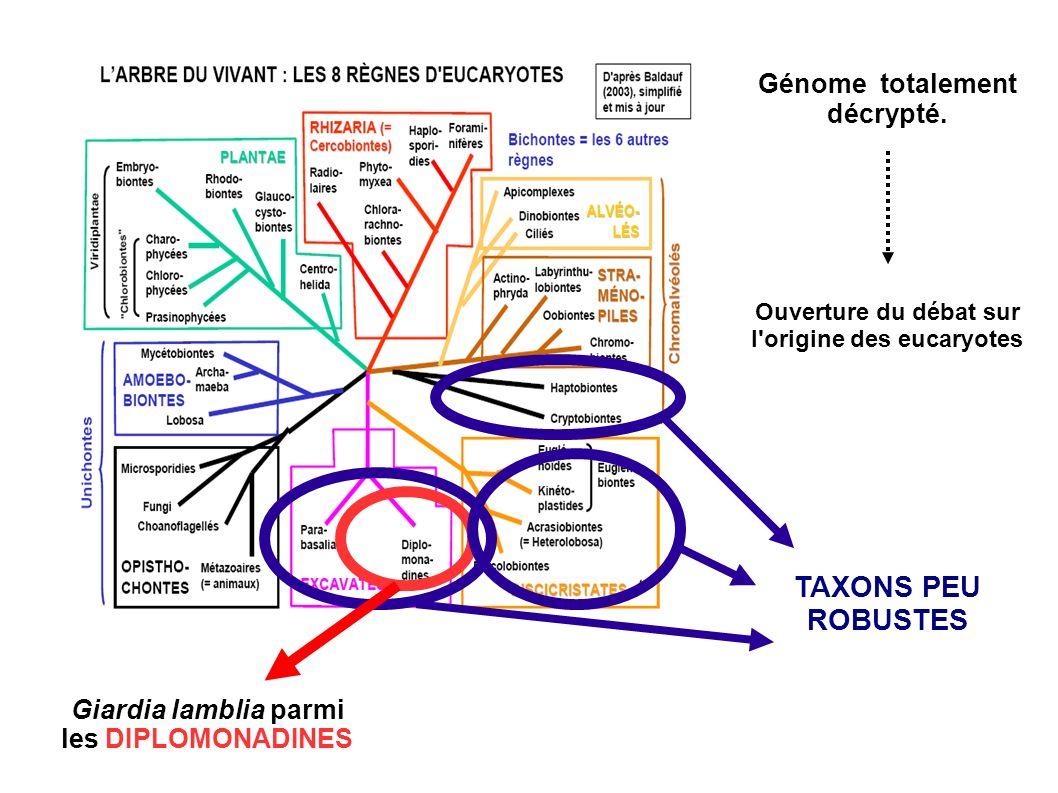 Giardia lamblia parmi les DIPLOMONADINES TAXONS PEU ROBUSTES Génome totalement décrypté. Ouverture du débat sur l'origine des eucaryotes