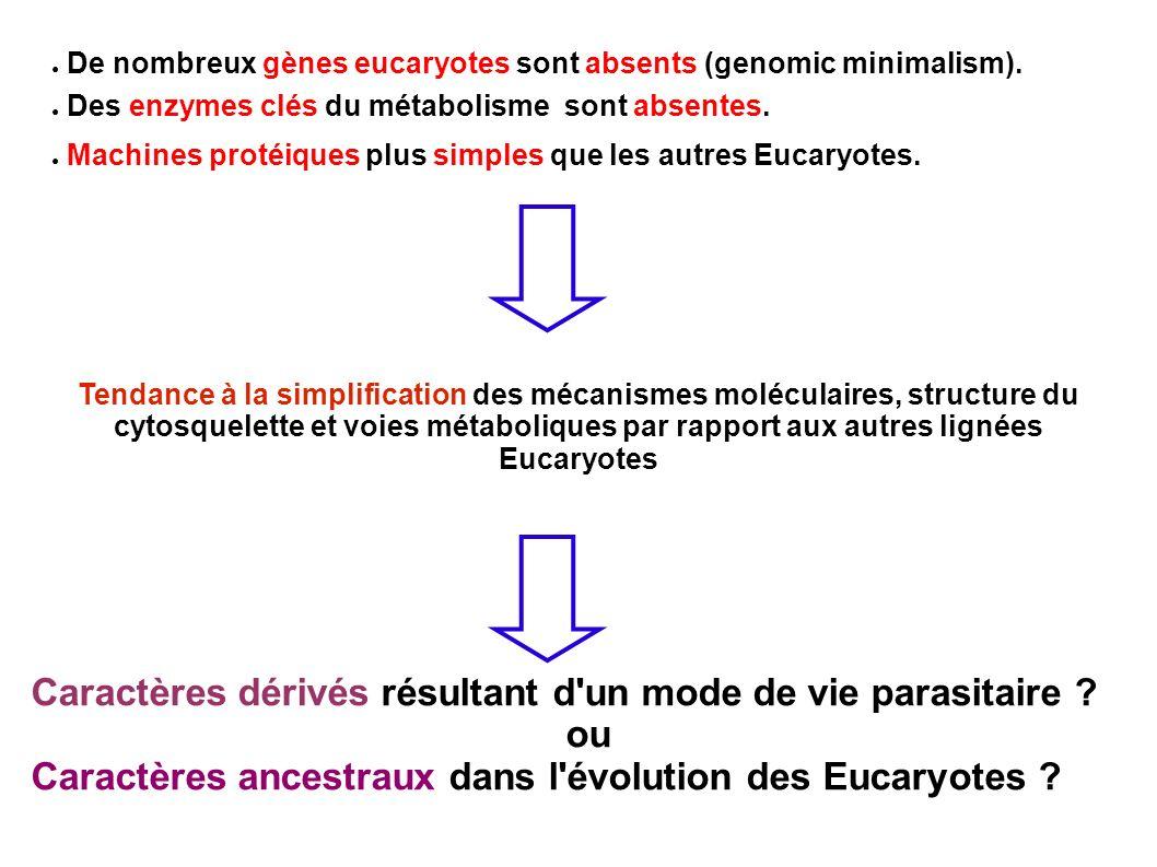 De nombreux gènes eucaryotes sont absents (genomic minimalism). Des enzymes clés du métabolisme sont absentes. Machines protéiques plus simples que le