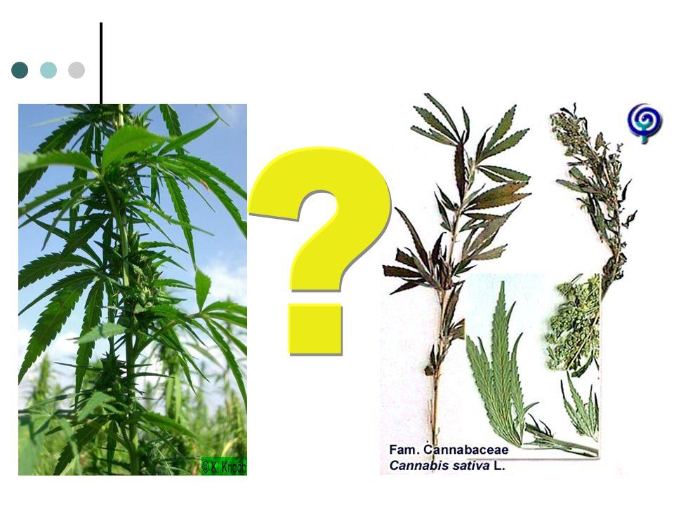 Le cannabis Depuis des millénaires…du Tibet en Europe Cannabis sativa : Variétés à fibres Le chanvre indien et le THC