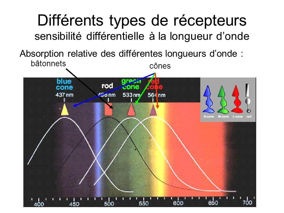 Différents types de récepteurs sensibilité différentielle à la longueur donde Absorption relative des différentes longueurs donde : bâtonnets cônes