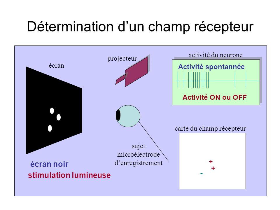 Détermination dun champ récepteur écran projecteur activité du neurone carte du champ récepteur sujet microélectrode denregistrement écran noir Activité spontannée stimulation lumineuse Activité ON ou OFF + + - 0