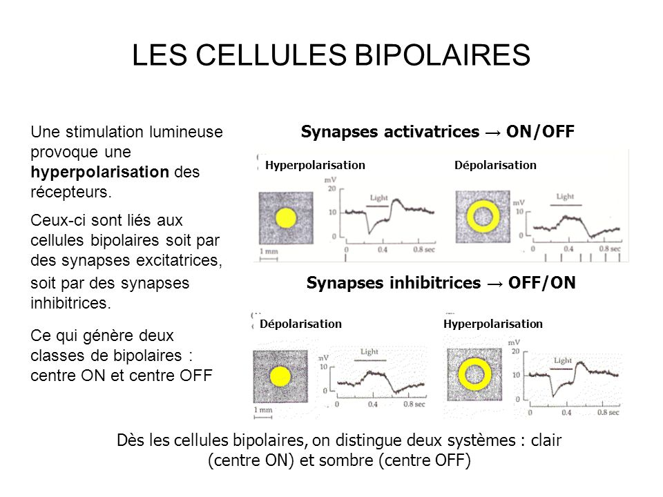 LES CELLULES BIPOLAIRES Synapses activatrices ON/OFF Hyperpolarisation Dépolarisation Dépolarisation Hyperpolarisation Synapses inhibitrices OFF/ON Dès les cellules bipolaires, on distingue deux systèmes : clair (centre ON) et sombre (centre OFF) Une stimulation lumineuse provoque une hyperpolarisation des récepteurs.