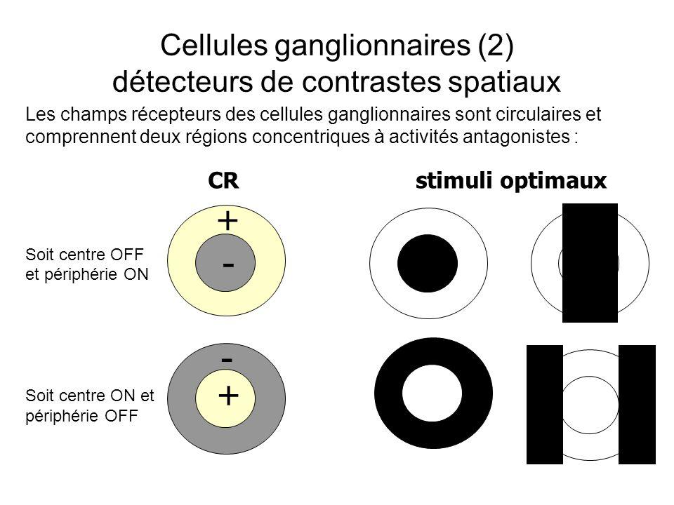 Cellules ganglionnaires (2) détecteurs de contrastes spatiaux + + - - CR stimuli optimaux Soit centre OFF et périphérie ON Soit centre ON et périphérie OFF Les champs récepteurs des cellules ganglionnaires sont circulaires et comprennent deux régions concentriques à activités antagonistes :