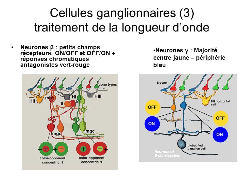 Cellules ganglionnaires (3) traitement de la longueur donde Neurones β : petits champs récepteurs, ON/OFF et OFF/ON + réponses chromatiques antagonistes vert-rouge Neurones γ : Majorité centre jaune – périphérie bleu