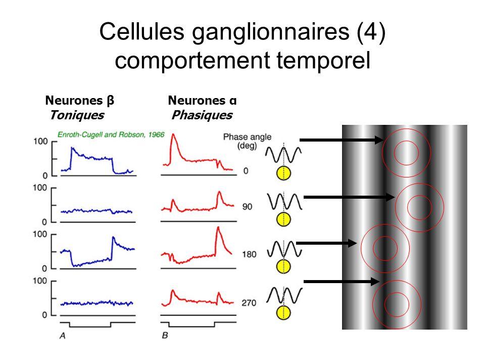 Cellules ganglionnaires (4) comportement temporel Neurones β Neurones α Toniques Phasiques