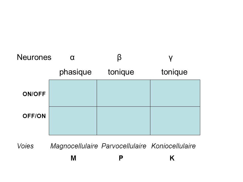 Neurones α β γ phasique tonique tonique Voies Magnocellulaire Parvocellulaire Koniocellulaire M P K ON/OFF OFF/ON